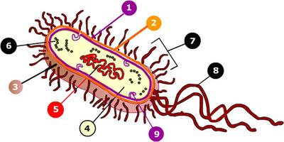 Celulaprocariota