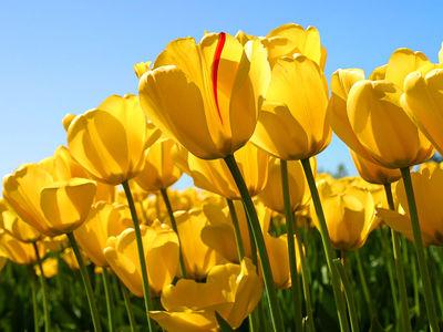 Desktop_tulips
