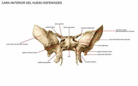 Medinfo.com : Hueso Esfenoides