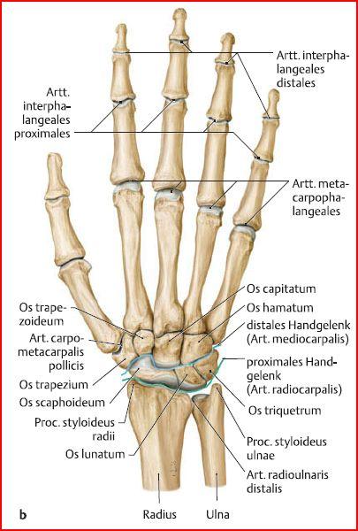 Anatomie A1: Obere Extremität (Knochen und Gelenke) | Flashcards
