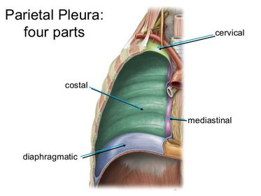 Image result for parts of parietal pleura