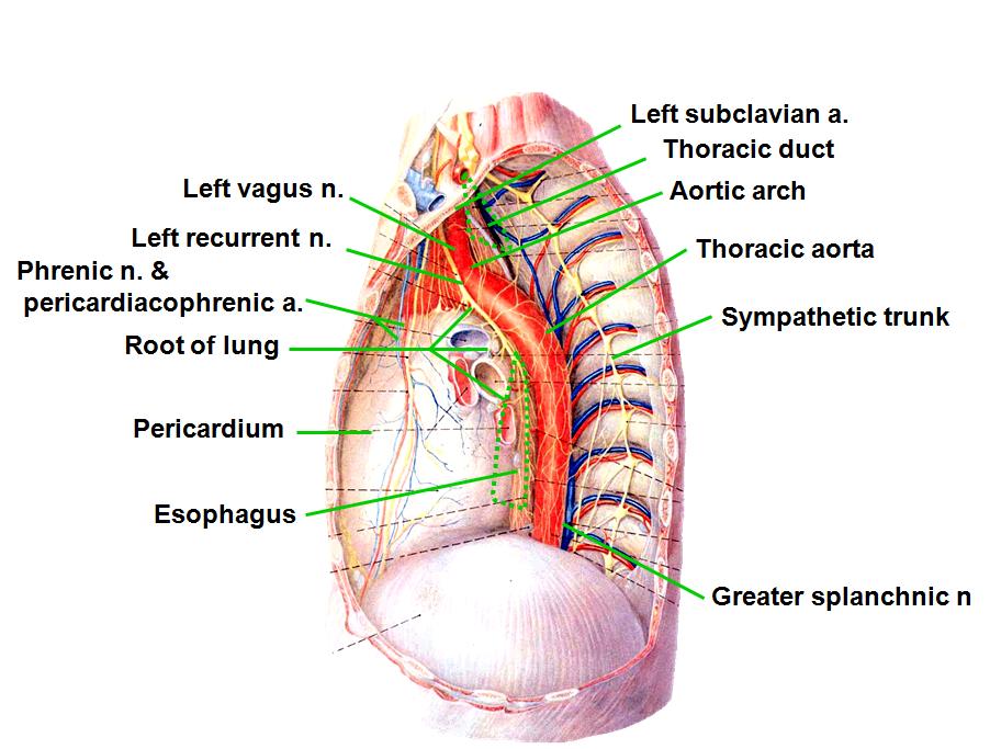 Rca Thorax 3 Mediastinum And Heart In Situ Flashcards