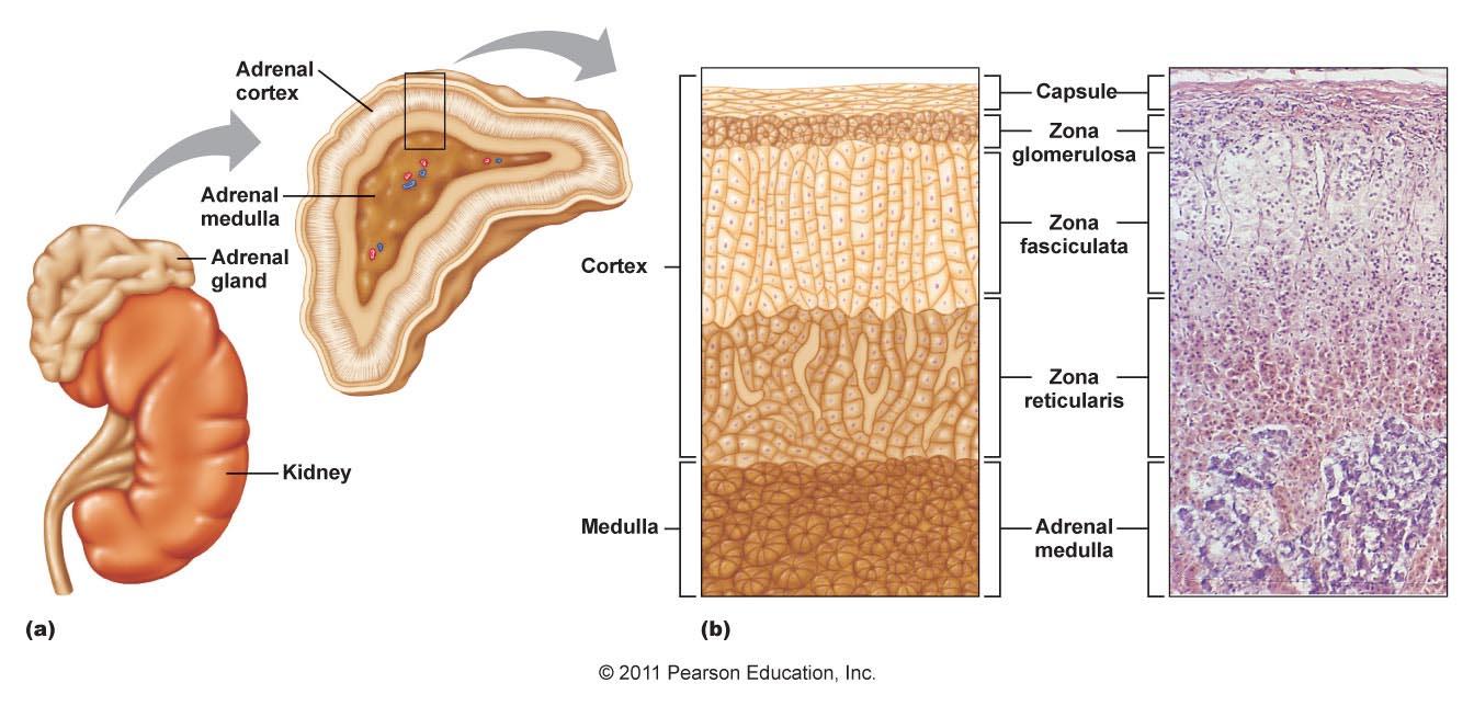 adrenal gland anatomy   flashcards