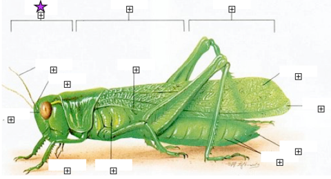 Grasshopper External Anatomy Flashcards