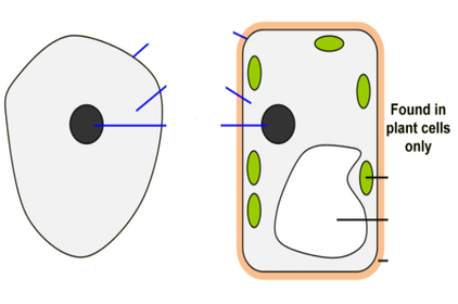 Vacuole Function In Plant Cell Ks3 - Aflam-Neeeak