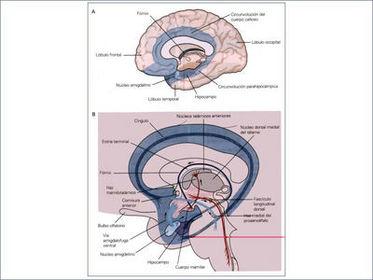 Circuito De Papez : Sistema límbico del cerebro ecured
