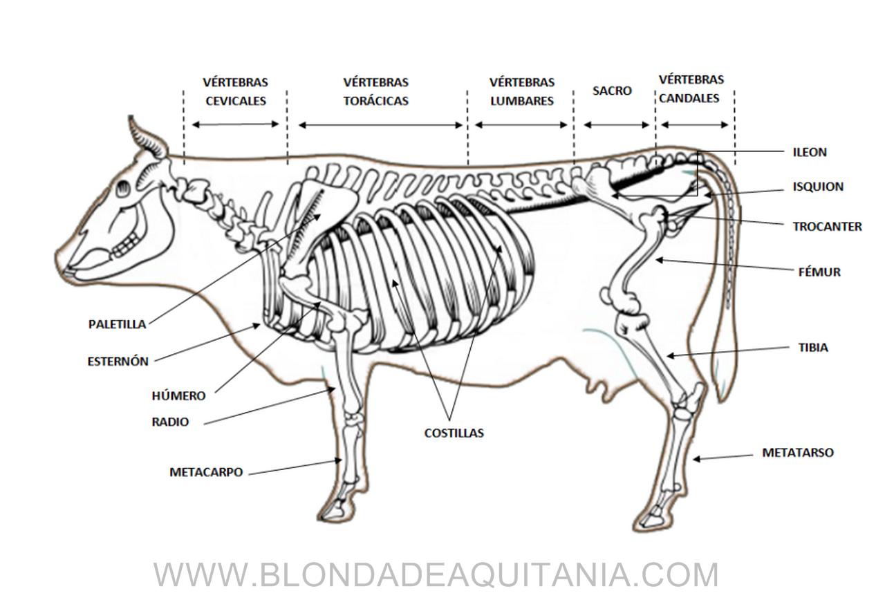 Moderno Anatomía Externa De Vaca Modelo - Imágenes de Anatomía ...