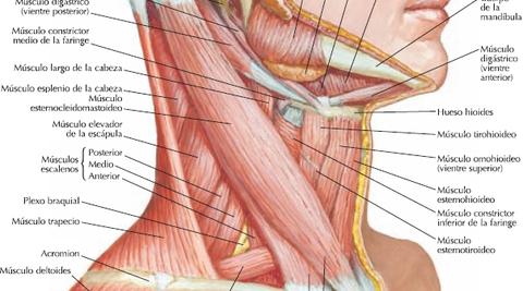 Músculos del Cuello | Flashcards