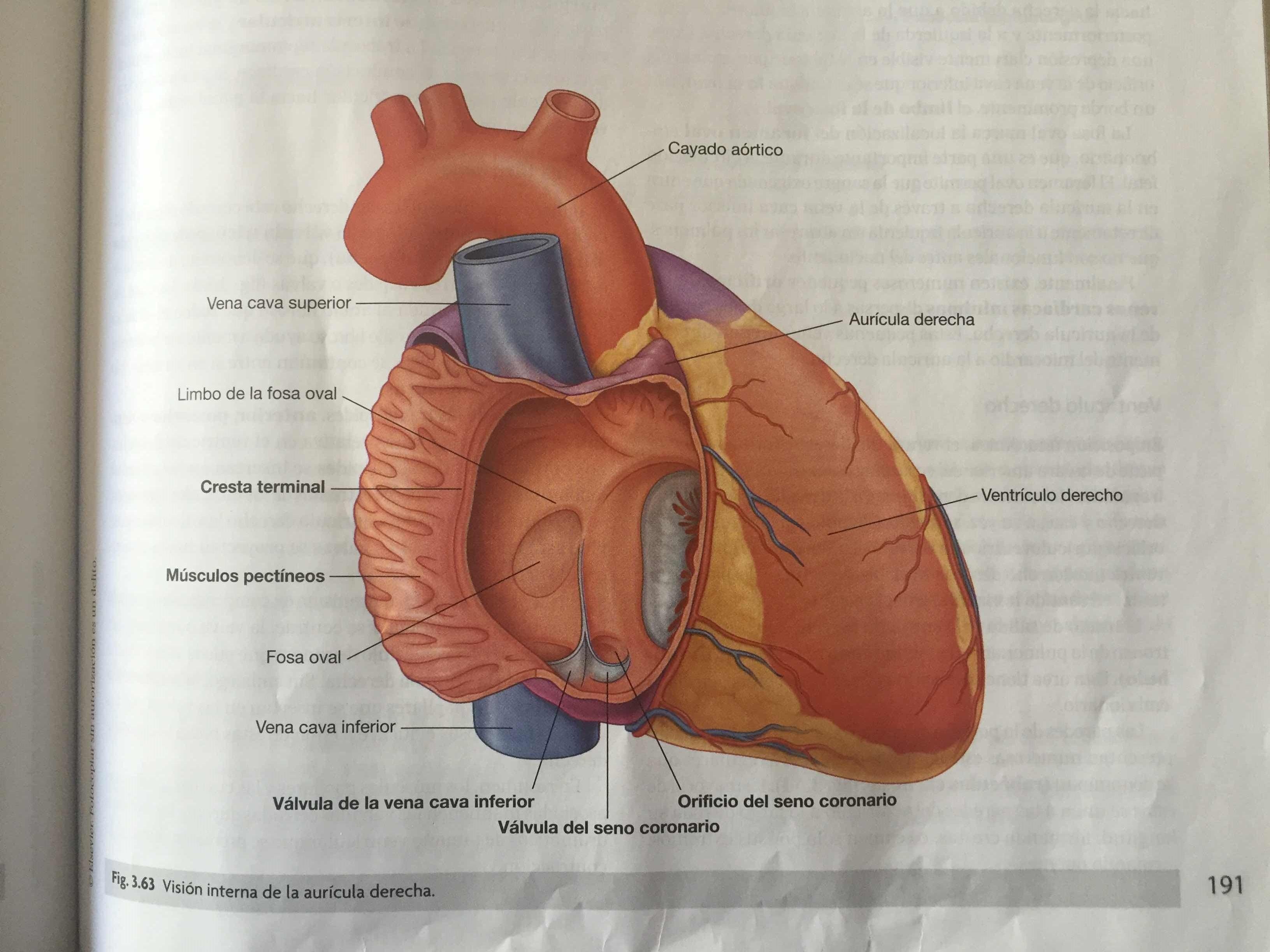 Anatomía del corazón | Note
