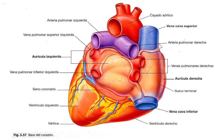 Configuración externa del corazón | Note