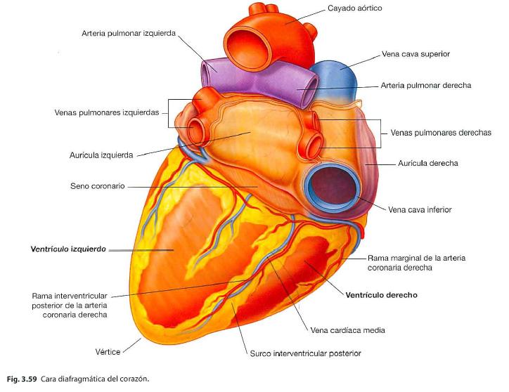 Configuración externa del corazón   Note
