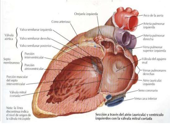 Configuración interna del corazón | Note