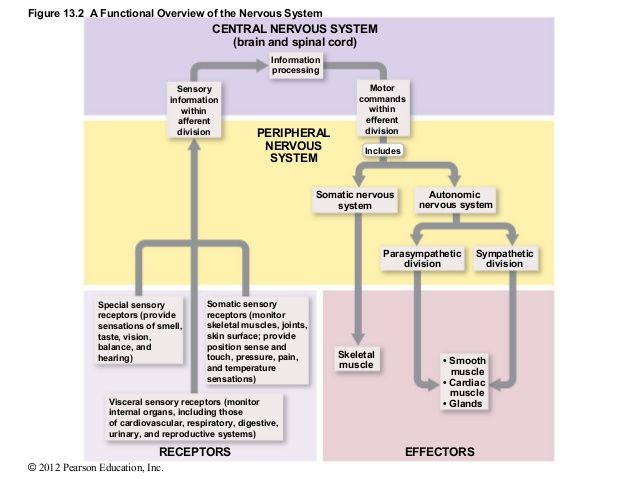 Functions and divisions of nervous system note ccuart Image collections