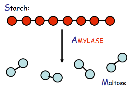 enzymatic activity of salivary amylase Optimum temperature for the enzymatic activity of salivary amylase ranges from 32 °c to 37 °c the optimum temperature means that the temperature at which the enzyme shows the maximum activity at this optimum temperature, the enzyme is most active and hence, takes less time to digest the starch.