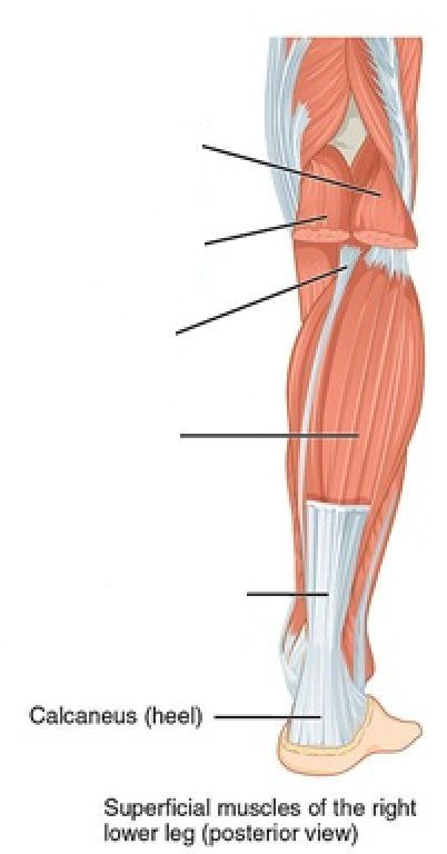 Muscle Identification Lower Limb Labelling Quiz