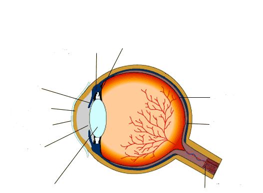 OCR GCSE Biology     the eye      Quiz