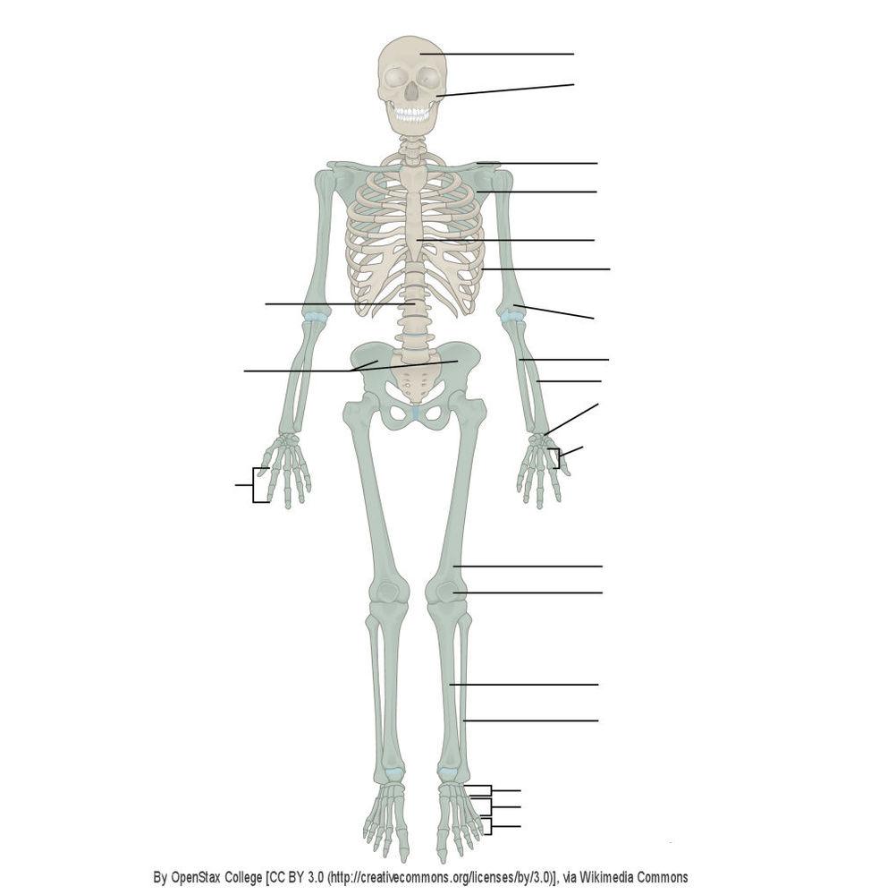 Das menschliche Skelett   Quiz