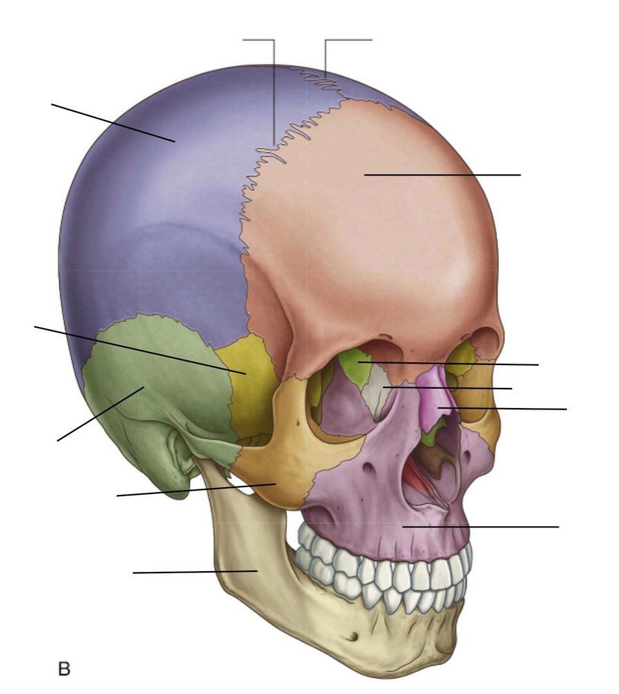 Skull Bones & Sutures Quiz | Quiz