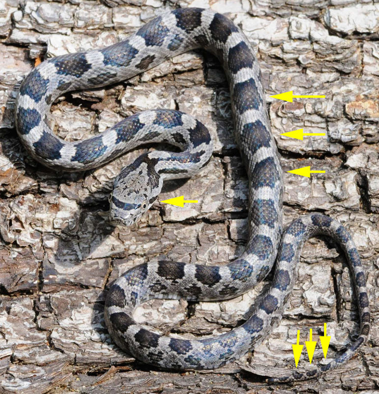 Can You Identify Venomous Snakes Of The USA?