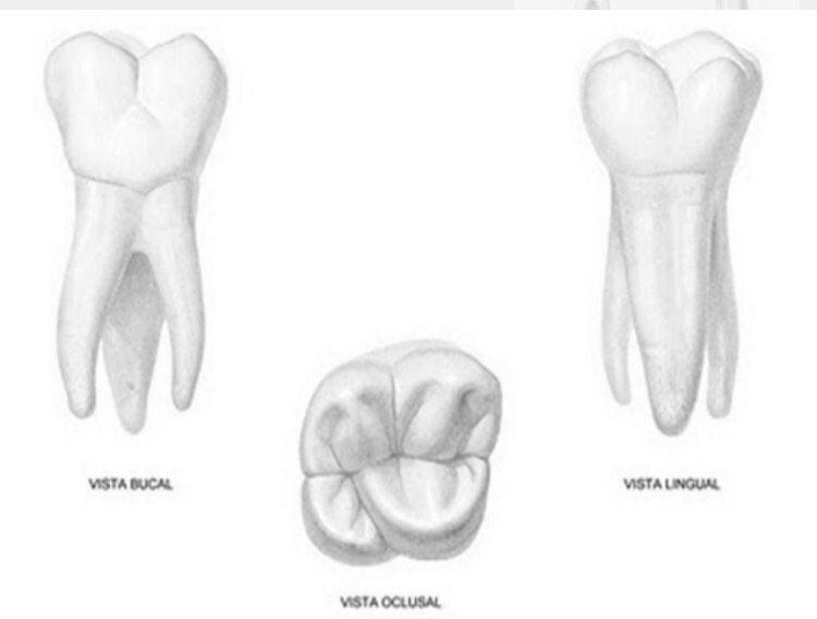 Anatomia dental | Quiz