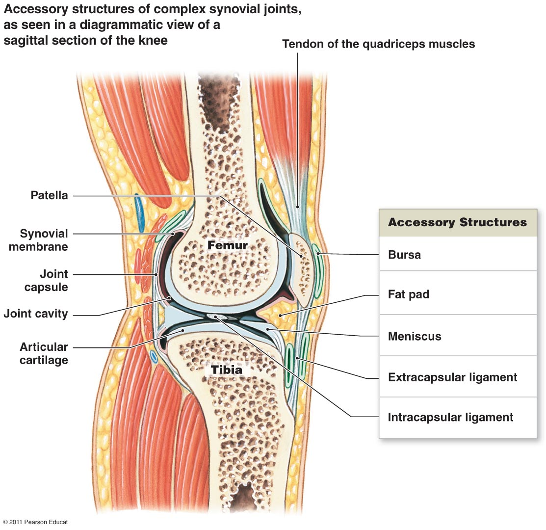 Synovial Joint Cavity Membranes Diagram Wiring Master Blogs Meniscus Www Imagenesmy Com Vs Serous Membrane Labeled