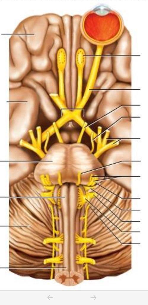 Nervous system part 2 brain diagram   Quiz