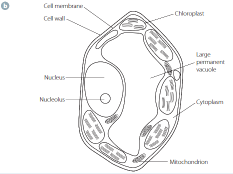 Prelim Biology Module 1 Chapter 2 Cells As The Basis Of Life