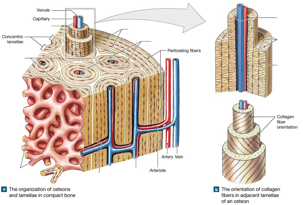 osteon diagram lab schematic wiring diagram Volkmann's Canal Diagram
