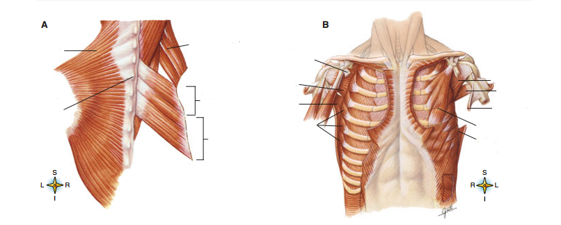 Study Guide Appendicular Muscles Quiz