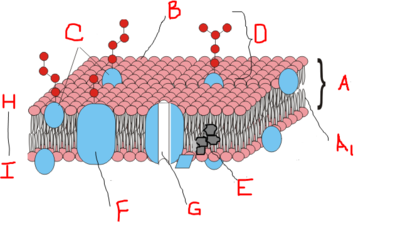 Cell Membrane Diagram Blank.Parts Of A Cell Membrane Quiz