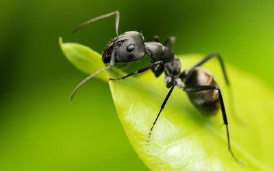 Hormiga-en-una-hoja-verde_fondos-hd-de-insectos