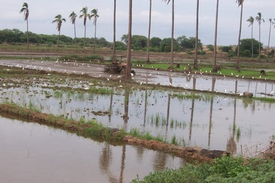 Campos_de_arroz_en_el_bajo_piura_1