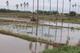 Thumb_campos_de_arroz_en_el_bajo_piura_1