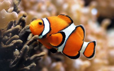 Desktop_fish-hd-orange-fish-background-picture