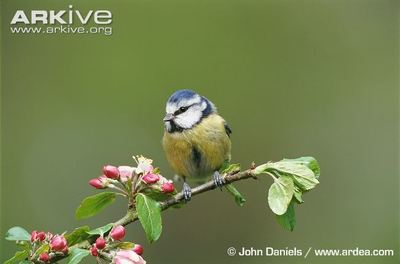 Desktop_blue-tit_photo