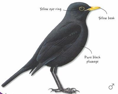 Desktop_blackbird