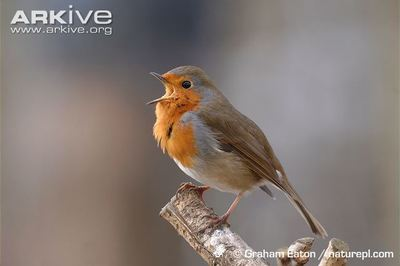 Desktop_robin_photo