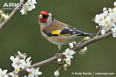 Desktop_goldfinch-perched-on-a-branch
