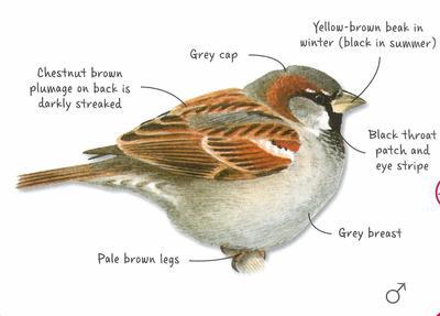 Desktop_house_sparrow