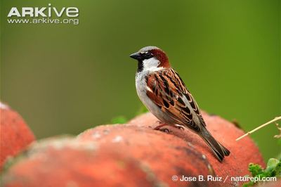 Desktop_male-house-sparrow-on-roof-tiles