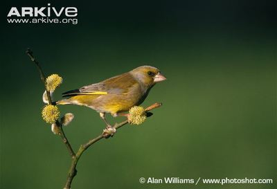 Desktop_male-greenfinch-on-pussy-willow