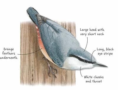 Desktop_nuthatch