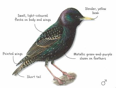 Desktop_starling