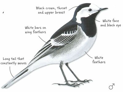 Desktop_single_pied_wagtail