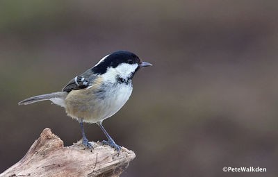 Desktop_coal_tit_2