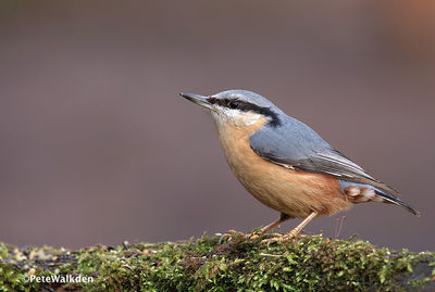 Desktop_nuthatch2