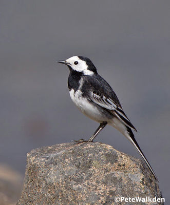 Desktop_pied_wagtail_2