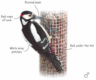 Desktop_gs_woodpecker