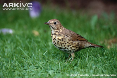 Desktop_song_thrush