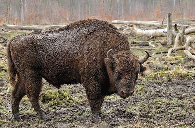 Desktop_1280px-bison_bonasus__linnaeus_1758_